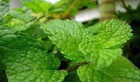 صادرات نعناع گیاهی معطر